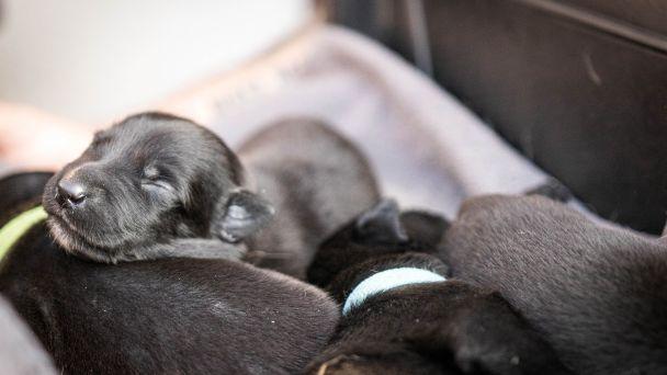 Kynológovia sa tešia z prírastku piatich šteniatok